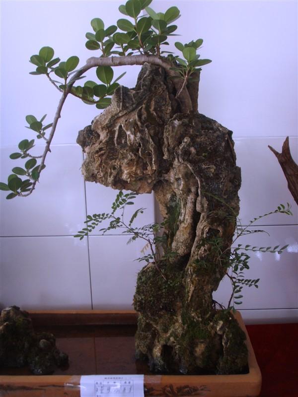 金钱树(榕树)附石盆景艺术趣谈
